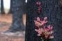 অস্ট্রেলিয়ার ধ্বংসস্তুপের মধ্যেই জন্ম নিচ্ছে নতুন প্রাণ